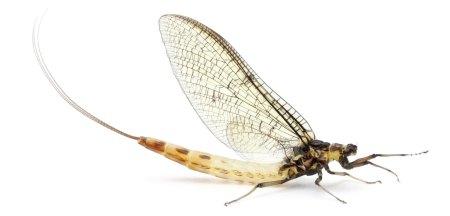 døgnflue-5